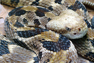 Crotalus horridus - Timber Rattlesnake - photo by Tim Vickers [Public domain] via Wikimedia Commons
