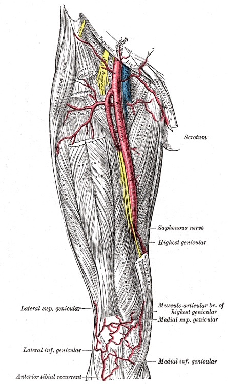 Femoral Artery Illustraion Greys Anatomy Sing Out