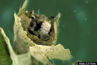 Weevil larva feeding